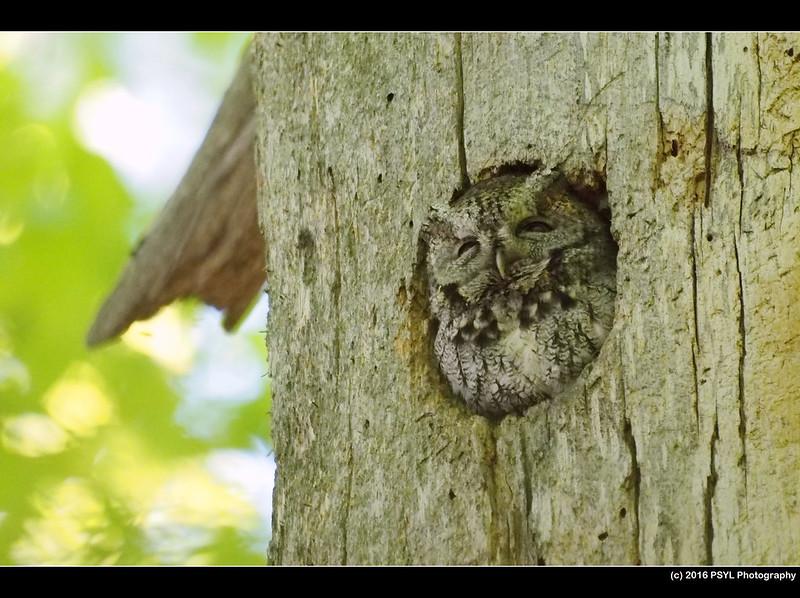 Eastern Screech-Owl (Megascops asio)