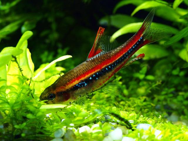 P3279883 珍珠燈魚