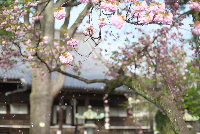 東京路地裏散歩 八重桜 2015年4月18日
