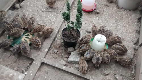 quail June 16 (1)