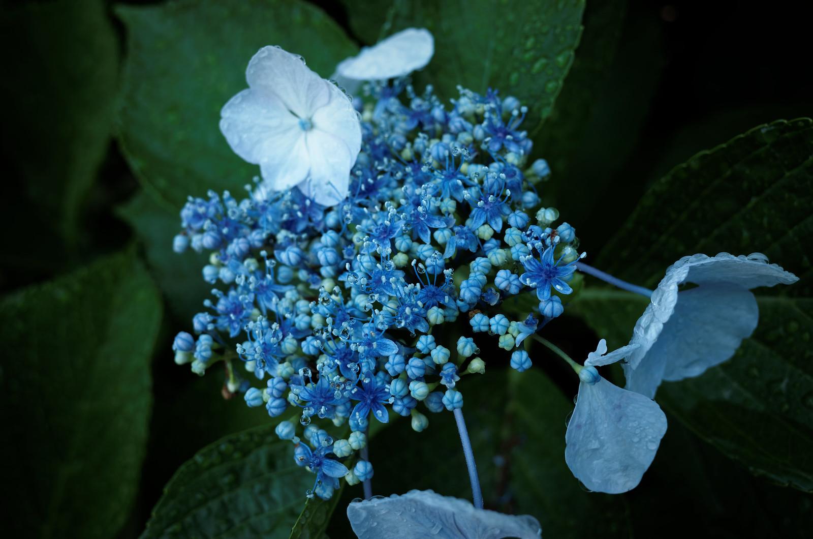 濡れ紫陽花