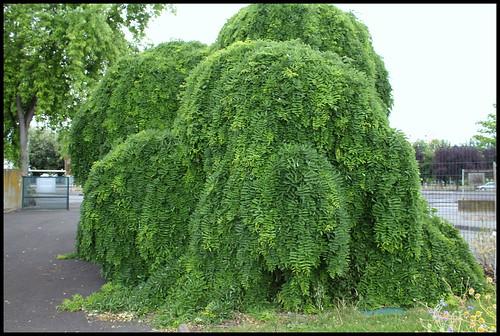 Sophora japonica 'Pendula' (3)