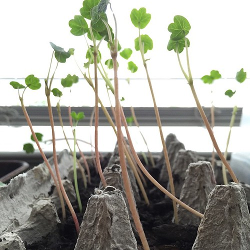 Not cilantro. #seedlings #garden2015 #notsnow #nasturtium Reaching for the sun! They make me giddy.