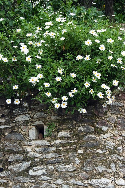 Ромашки над каменной стеной