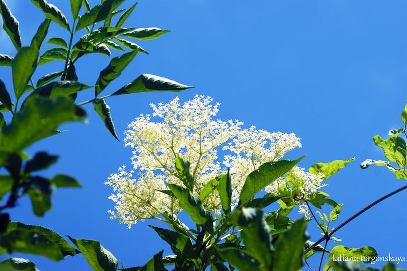 Цветение бузины