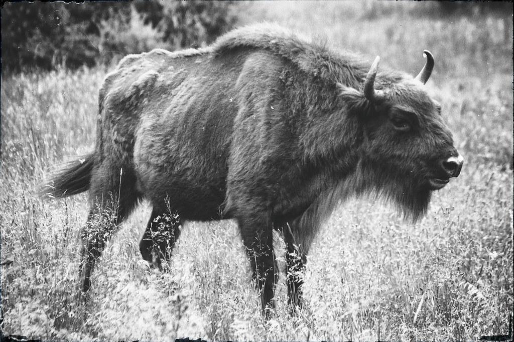 Bisons auf Bornholm