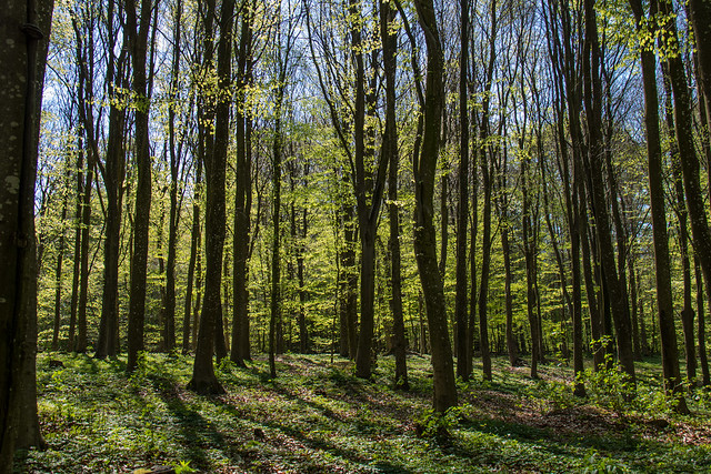 Spring in the Beech forest