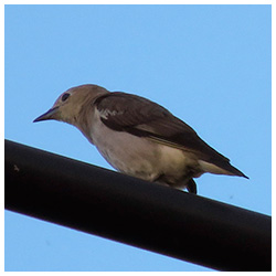 Сhestnut-cheeked starling. Female