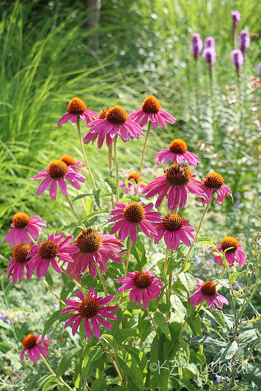 IMG_0542Coneflowers