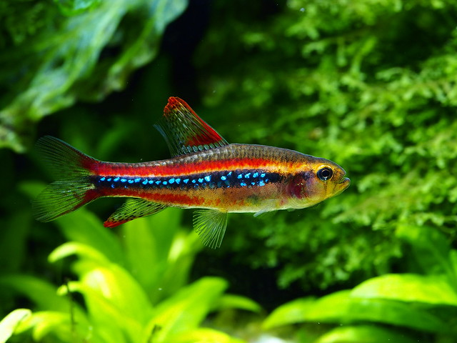 P3279890 珍珠燈魚