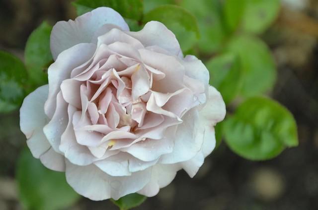Roses 01.07 (9)