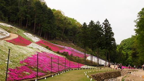ヤマサ蒲鉾の芝桜2015