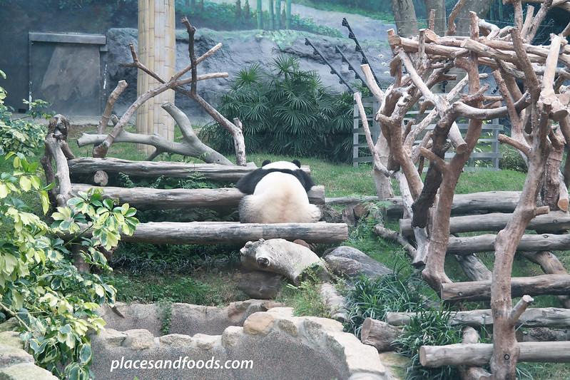 macau giant panda pavilion sleeping panda