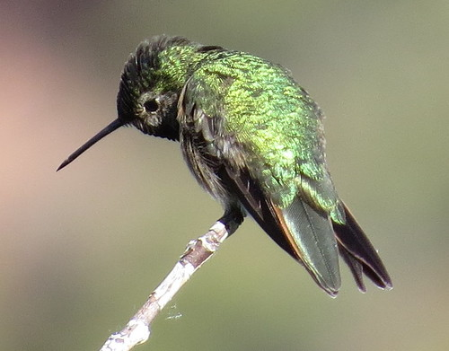Brod-Tailed Hummingbird