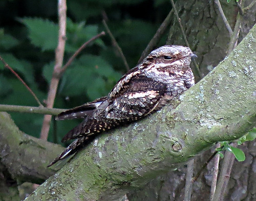 Nightjar Caprimulgus europaeus Tophill Low NR, East Yorkshire May 2015