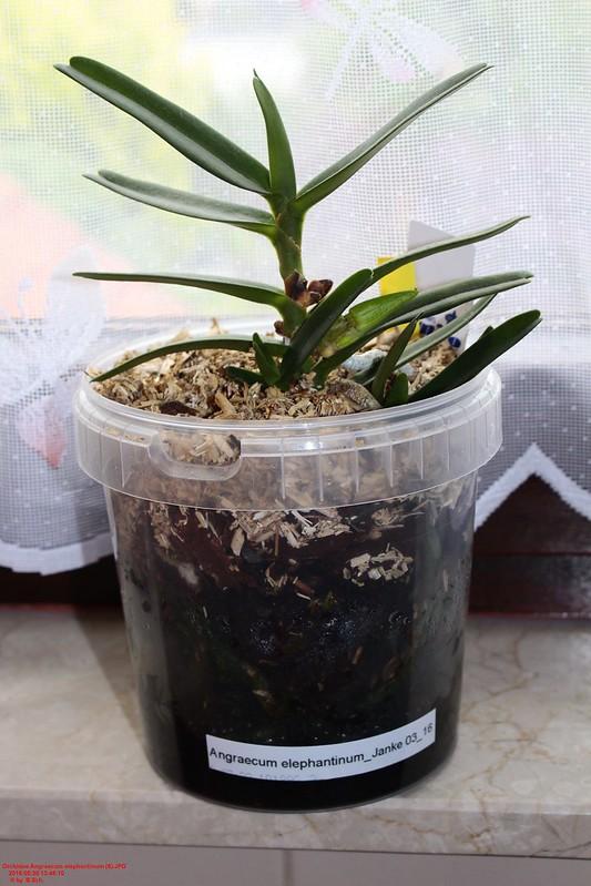 Angraecum elephantinum 26742460083_2f4c30da19_c