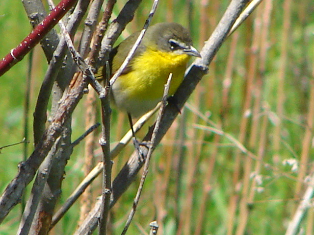 Yellow Breasted Chat Shoop Park Racine WI 5 13 2015 1