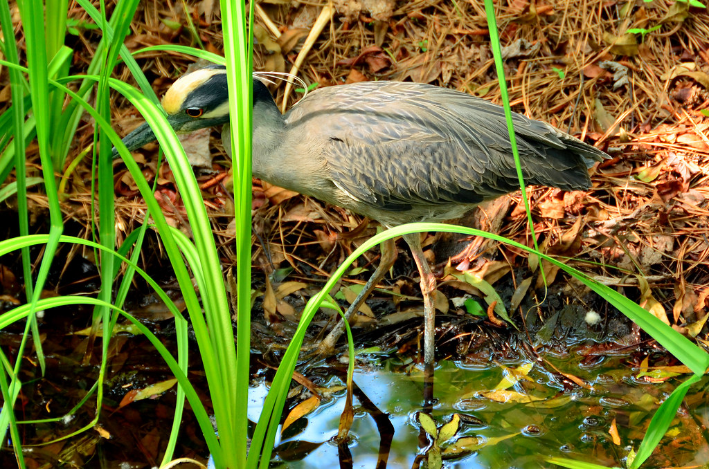 Yellow-Crowned Night Heron Hunting DSC_0072