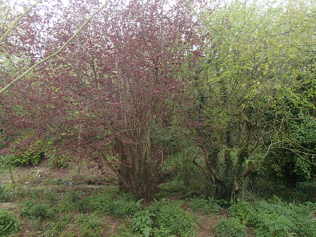 coppiced purple hazel