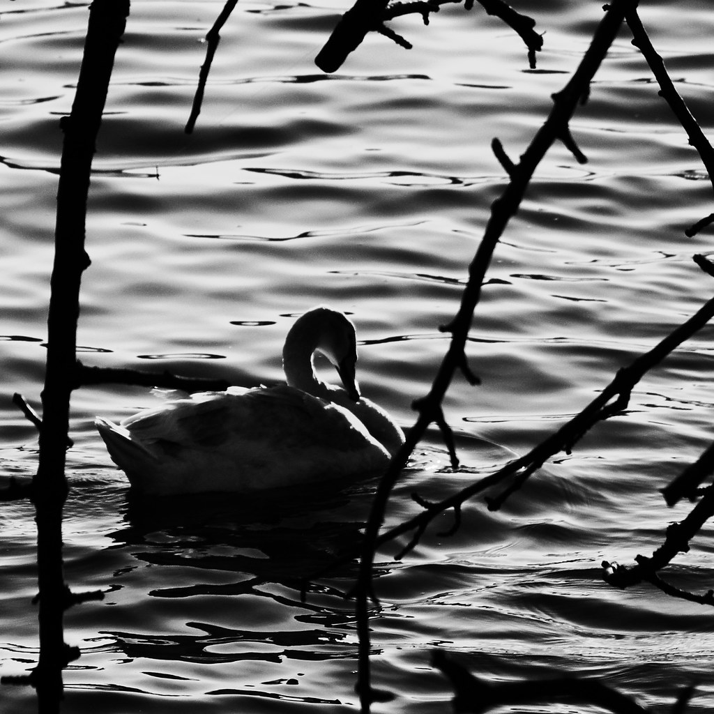 swan in a dark