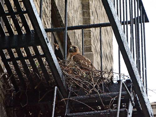 Hawk Mama - 0944