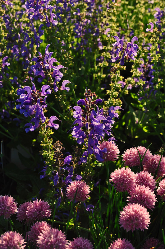 Allium schoenoprasum 'Rising Sun' and Salvia Rhapsody in Blue'