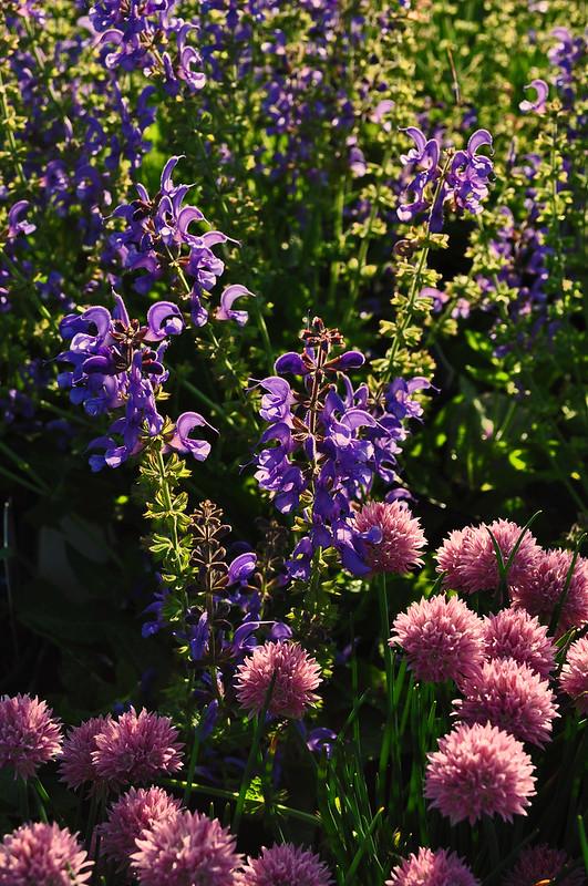 Allium schoenoprasum 'Rising Sun' and Salvia Rhapsody in Blue'