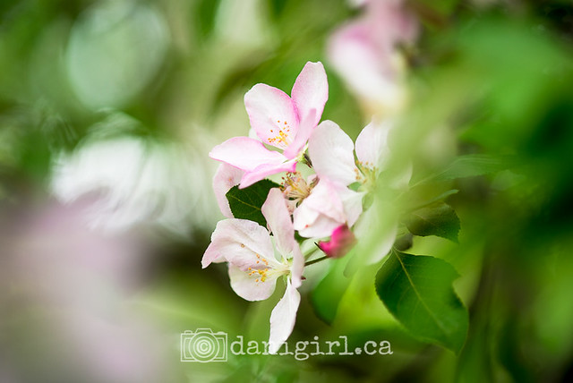crazy crab apple bokeh