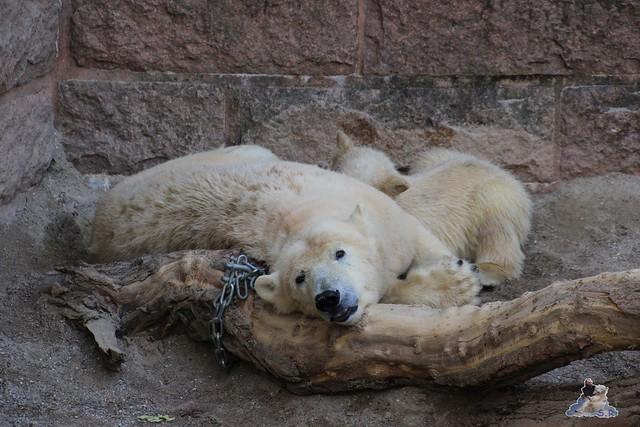 Eisbär Fiete im Zoo Rostock 23.05.2015 296