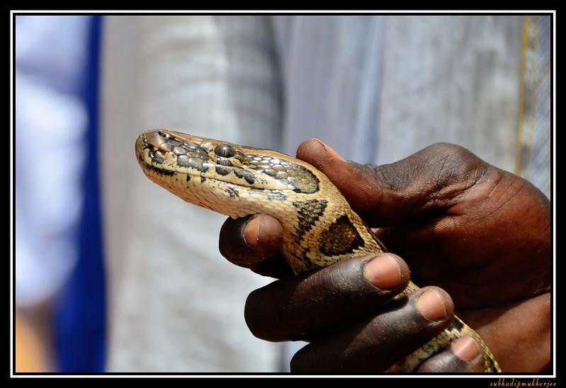 Villagers Displaying Snake