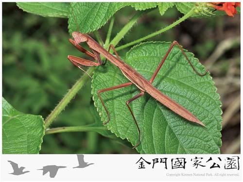 中華大螳螂-03