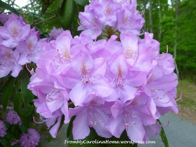Rhododendrons purple 5