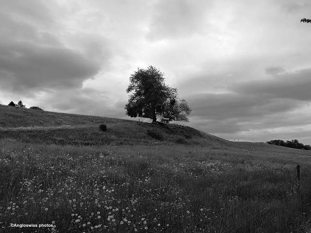 Tree on a hill in Feldbrunnen near the river Aar