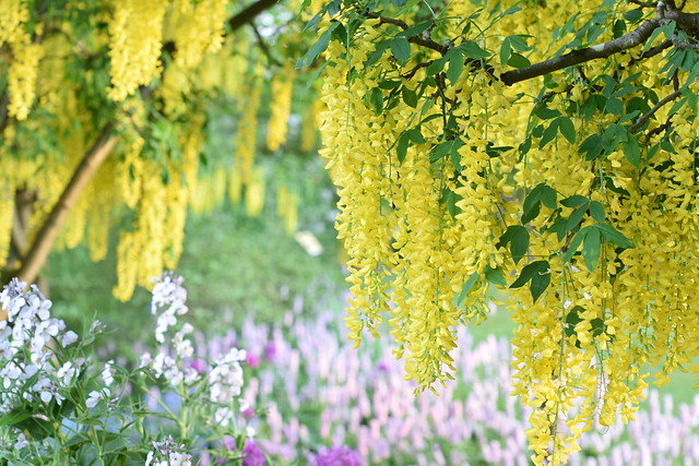 The Laburnum Walk