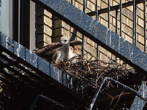 jHW Hawk Nest - 1636