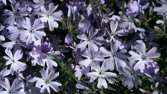 Morning Glory: Phlox subulata