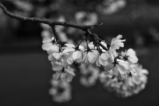 Copenhagen Cherry Blossoms