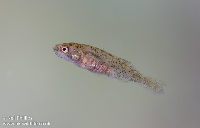 3 spined stickleback fry