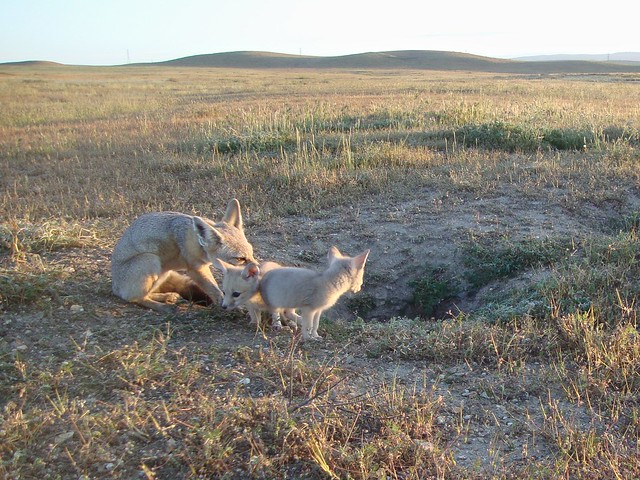 sj kit fox family