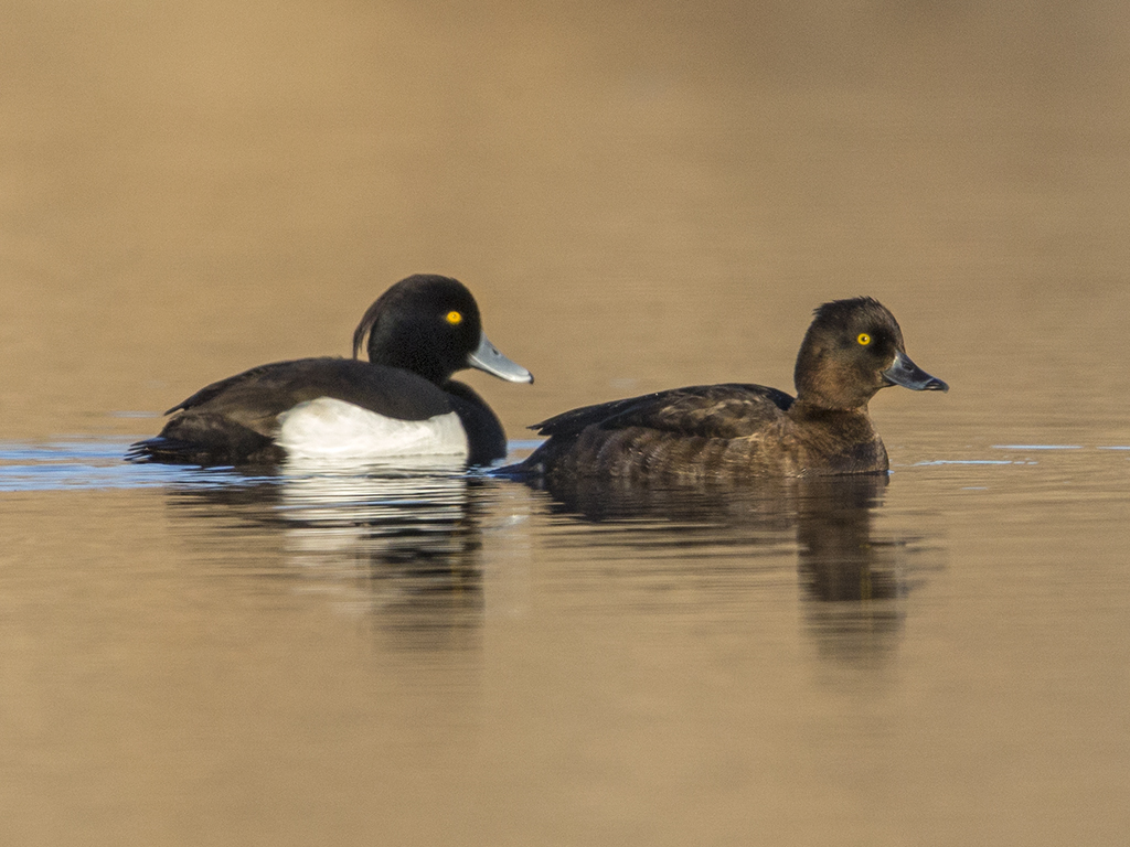 Tufted Duck  Iceland