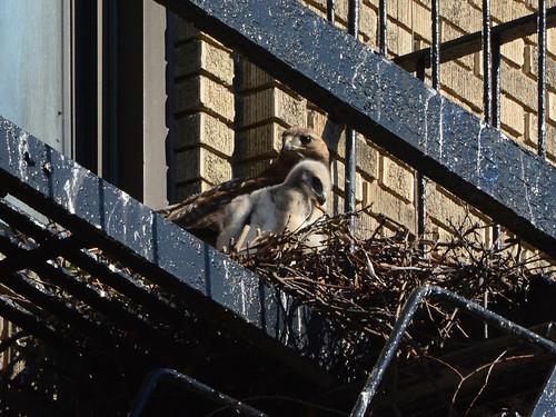 JHW Hawk Nest - 1638