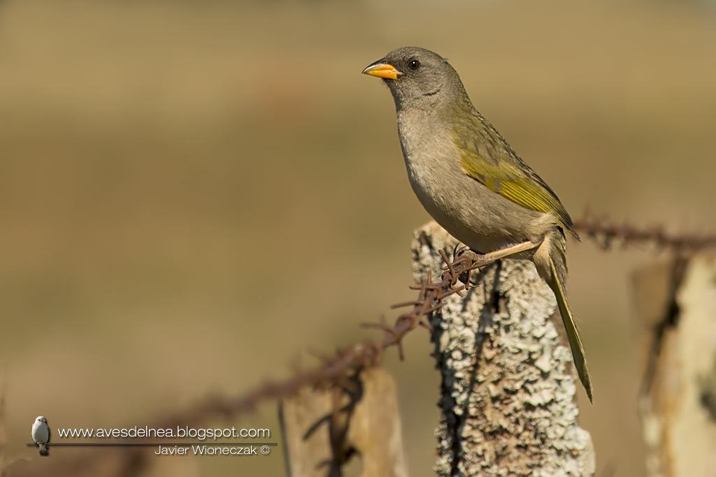 Verdón (Great pampa Finch) Embernagra platensis