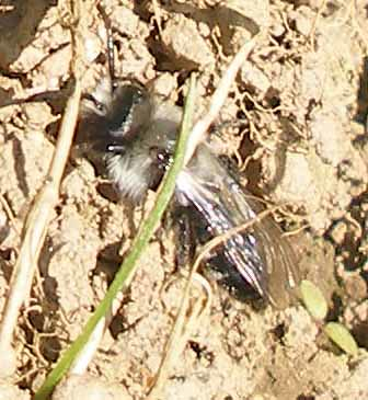 Ashy Mining Bee poss male