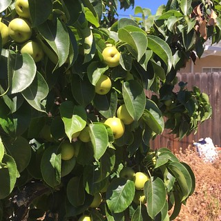 #asianpears #asianpear