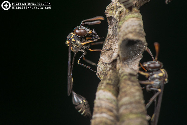 Stenogastrine wasps feeding- Parischnogaster sp. ♀