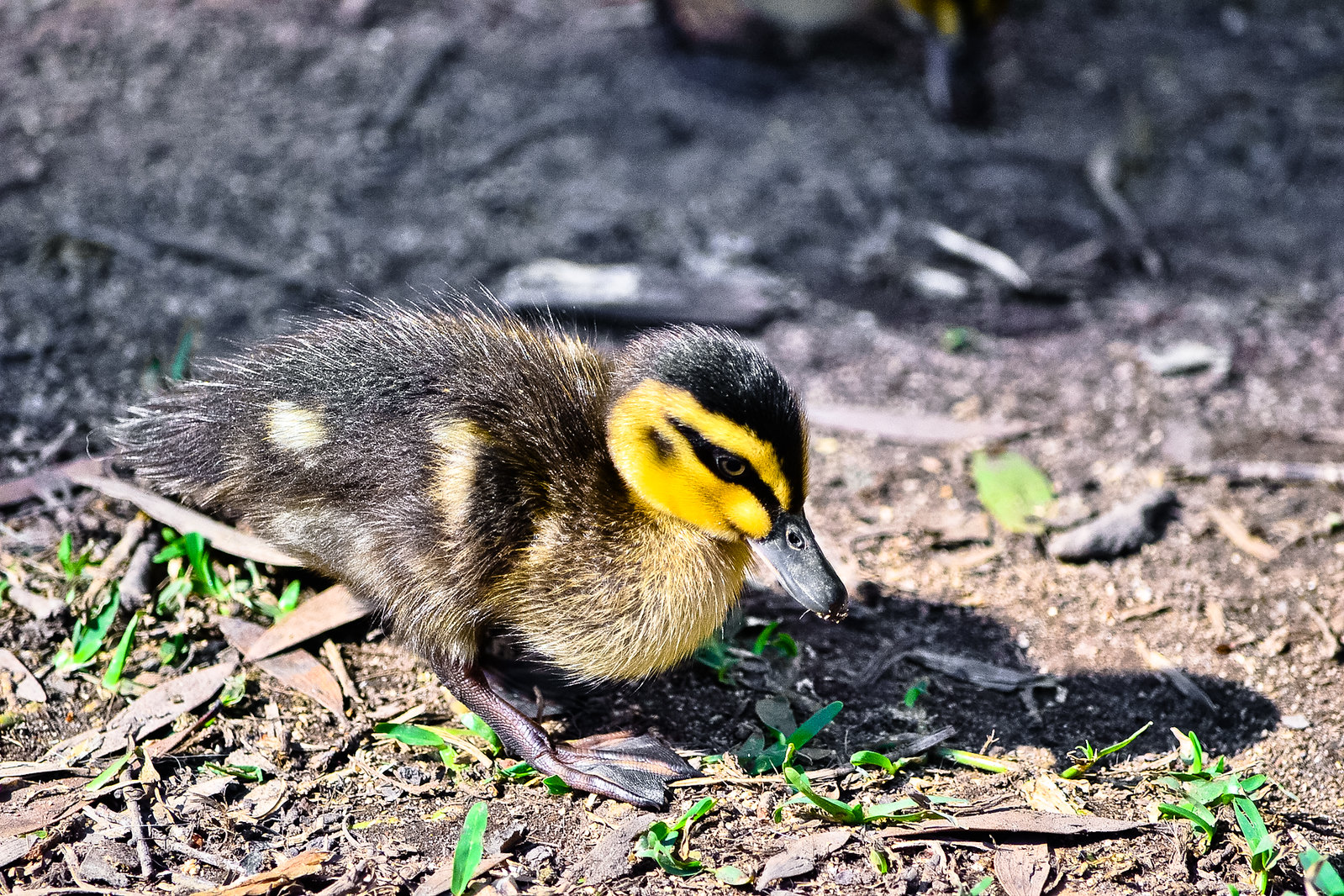 Currumbin Wildlife Sanctuary Duckling
