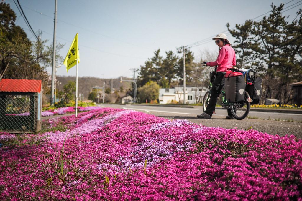 'Lawn blossom' (shiba-zakura) near Assabu, Hokkaido, Japan