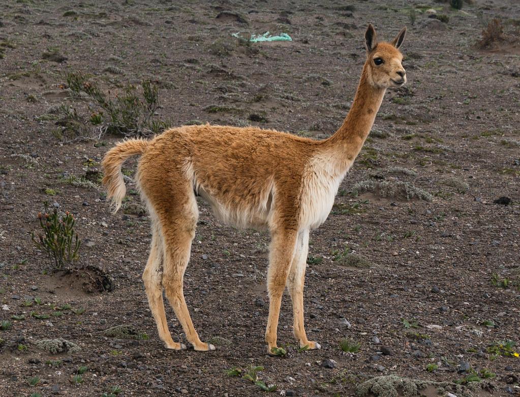 Llama at 4400 meters altitude