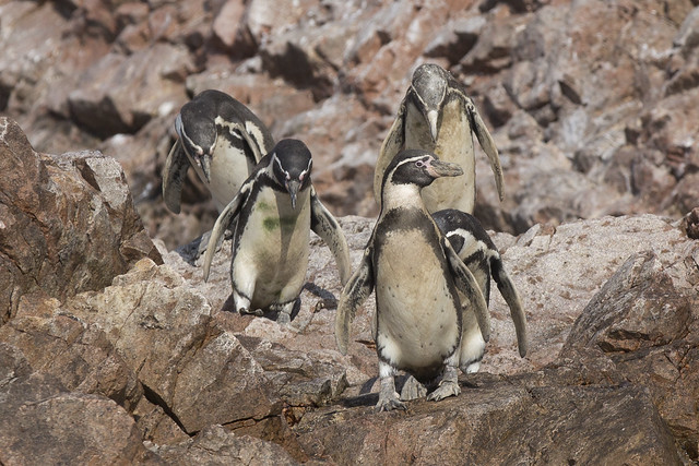 Penguins on Ballestas islands in Peru