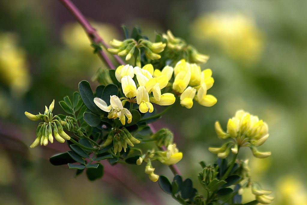 coronilla glauca 'citrina'